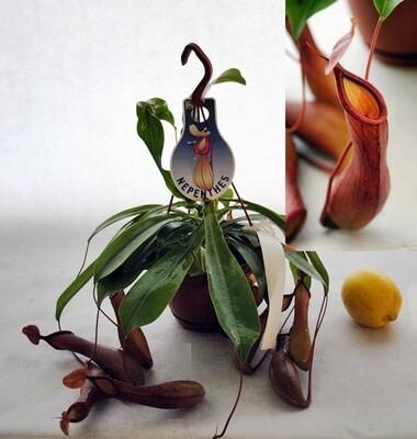 Nepenthes CARNIVORA basket 14 cm