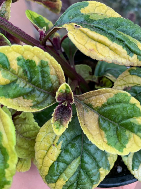 PLECTRANTHUS CILIATHUS GIALLO-VERDE (odore-incenso/agrumi/basilico ) vaso 13