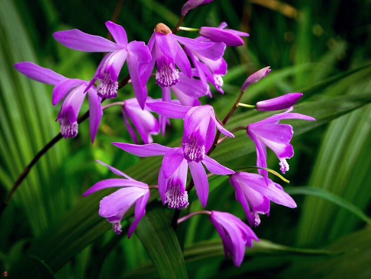 Bletilla vaso 21 cm (orchidee da giardino )
