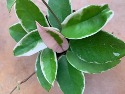 HOYA  Carnosa Variegata vaso 9 cm
