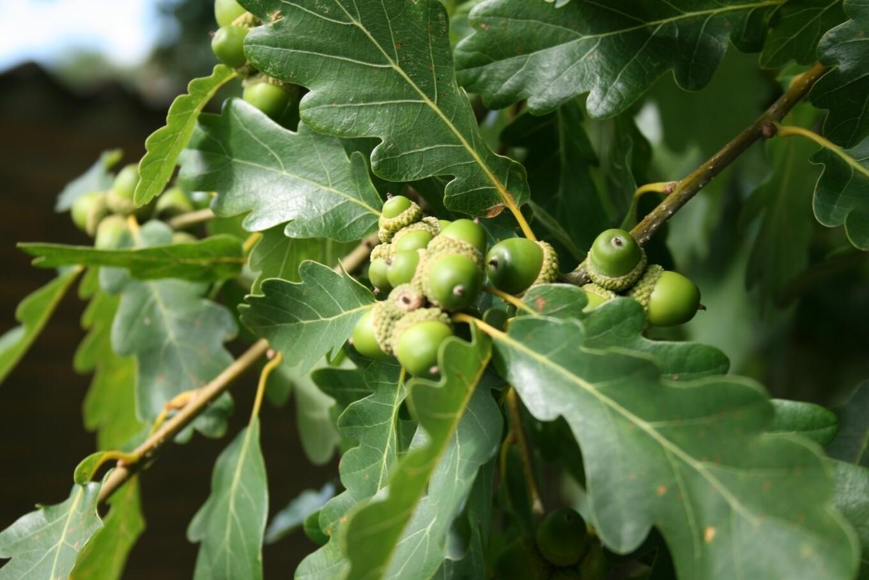 Quercus Petraea - Rovere- Quercia vaso 26 h 250/280