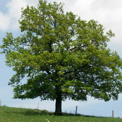 Quercus Robur - Farnia- Quercia vaso 26 h 250/ 260