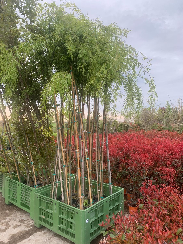Salice Piangente Salix Babylonica vaso 30 h 270/300