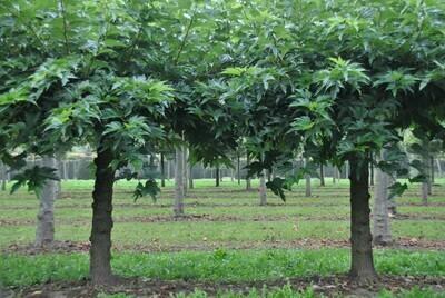 Morus Alba Fruitless vaso 24 h 220/230