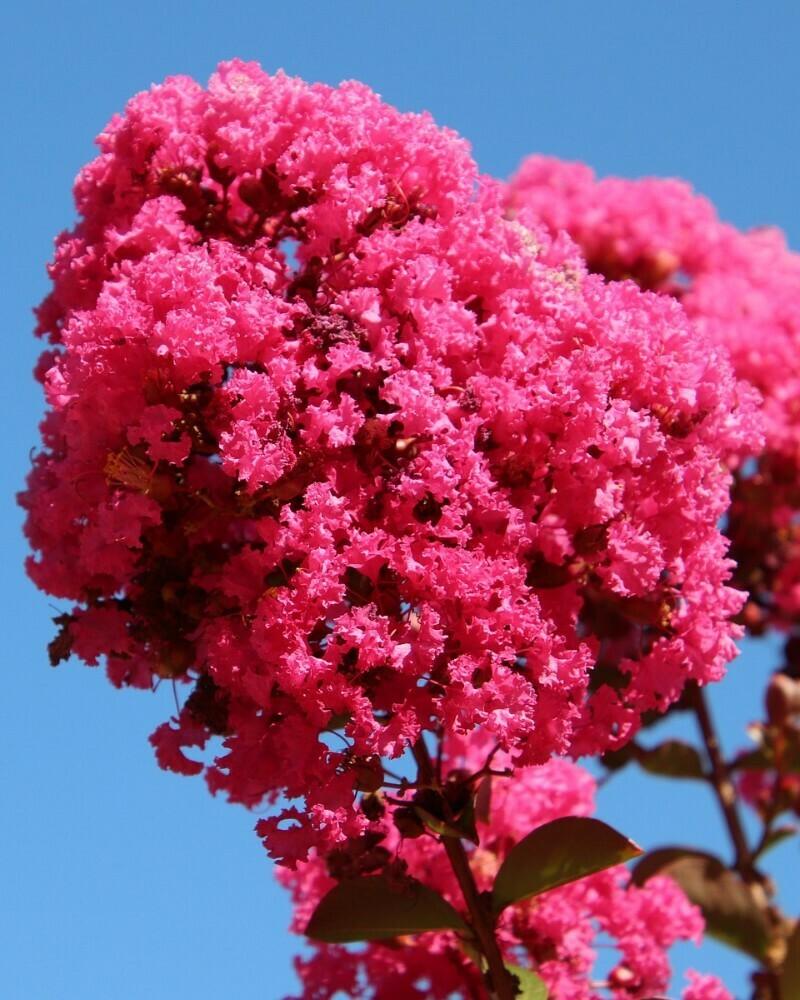 LAGERSTROEMIA indica  Lagestroemia Bianca rossa/nana Lilla rosa vaso 24 cm h 60/70