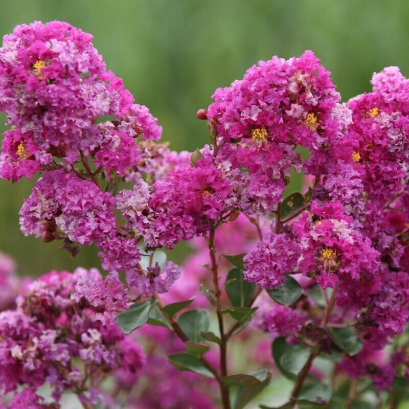 LAGERSTROEMIA indica  Lagestroemia Bianca rossa/nana Lilla rosa vaso v18 h 40/50