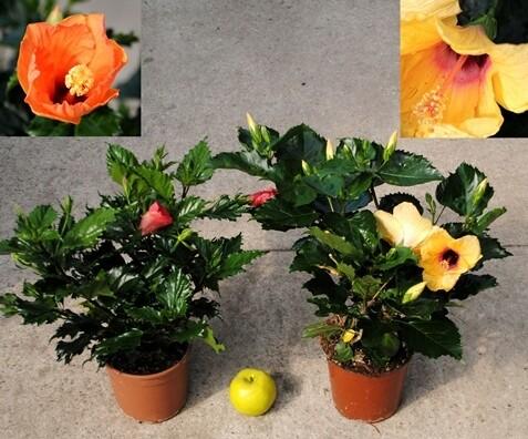 Ibisco Hibiscus rosa sinensis vaso 19