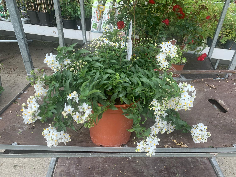 SOLANUM Jasminoides vaso 19