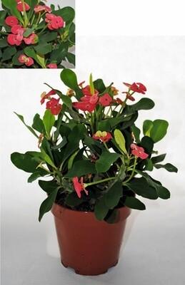 Euphorbia Milli Spina Christi v13 rossa