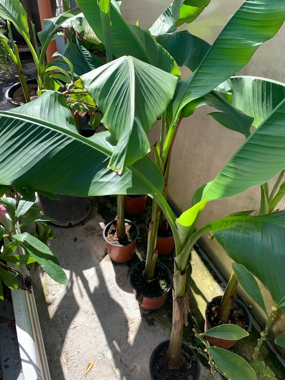 Musa Banana Okinawa esterno v24 h 120