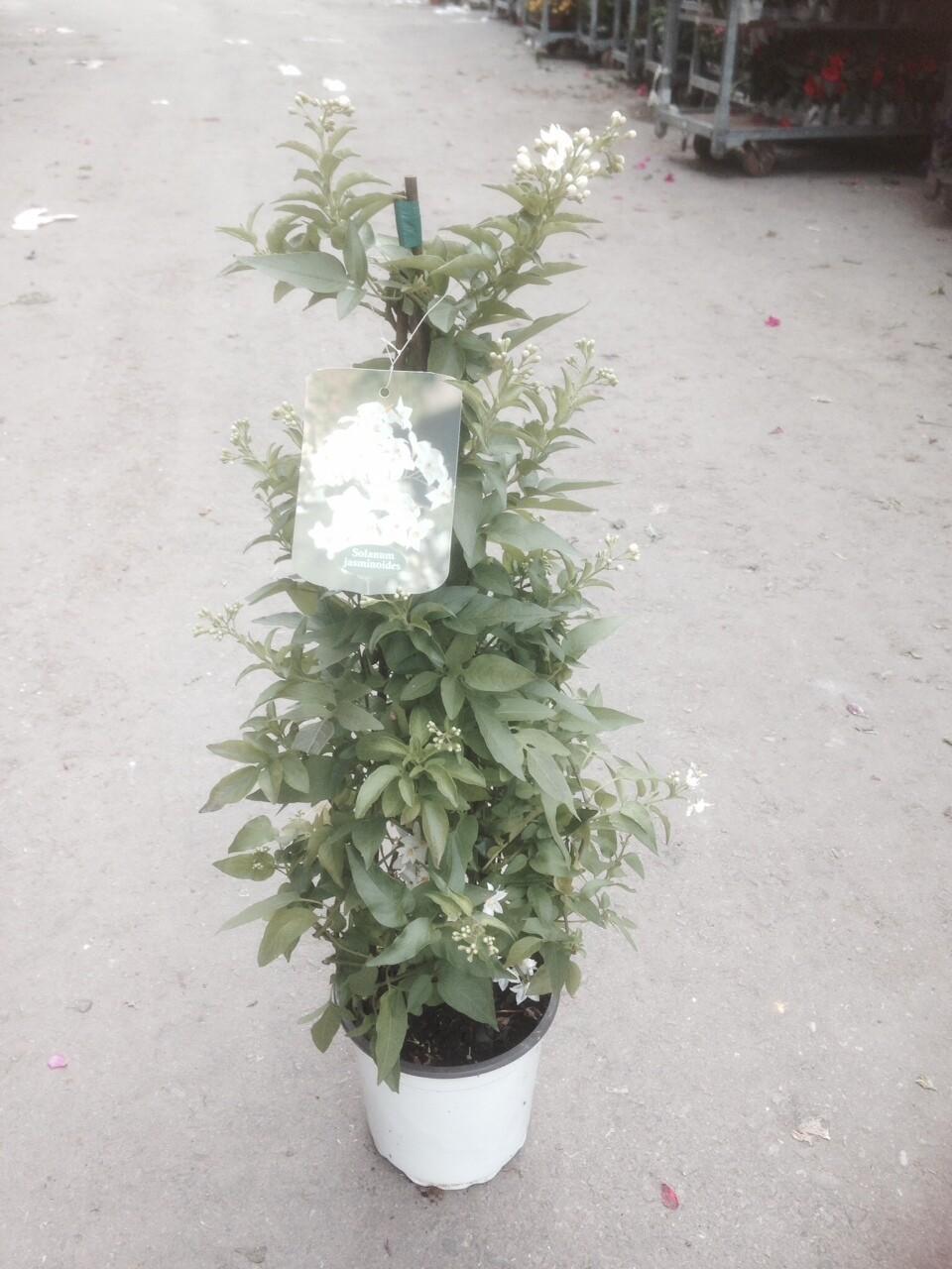 SOLANUM Jasminoides vaso 17 piramide
