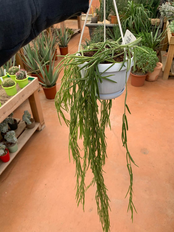HOYA  Linearis Basket 14 cm Fiore di Cera