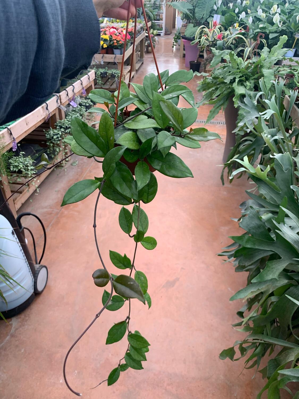 HOYA  Carnosa Basket 14 cm Fiore di Cera