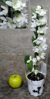 Dendrobium Nobilis v12 h 65