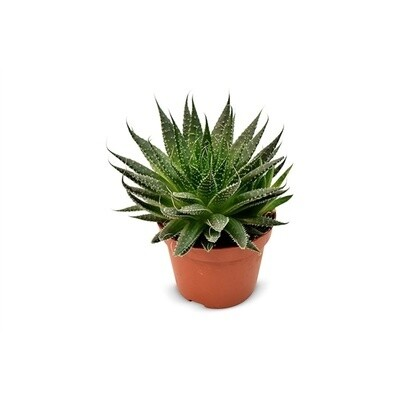 Aloe Aristata Akila vaso 11