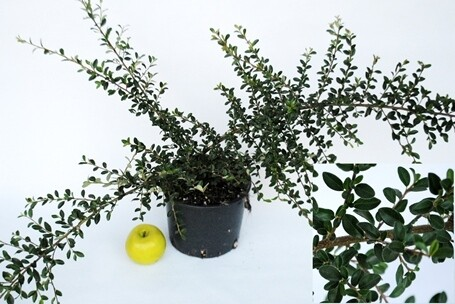 Cotoneaster Horizzontalis v16