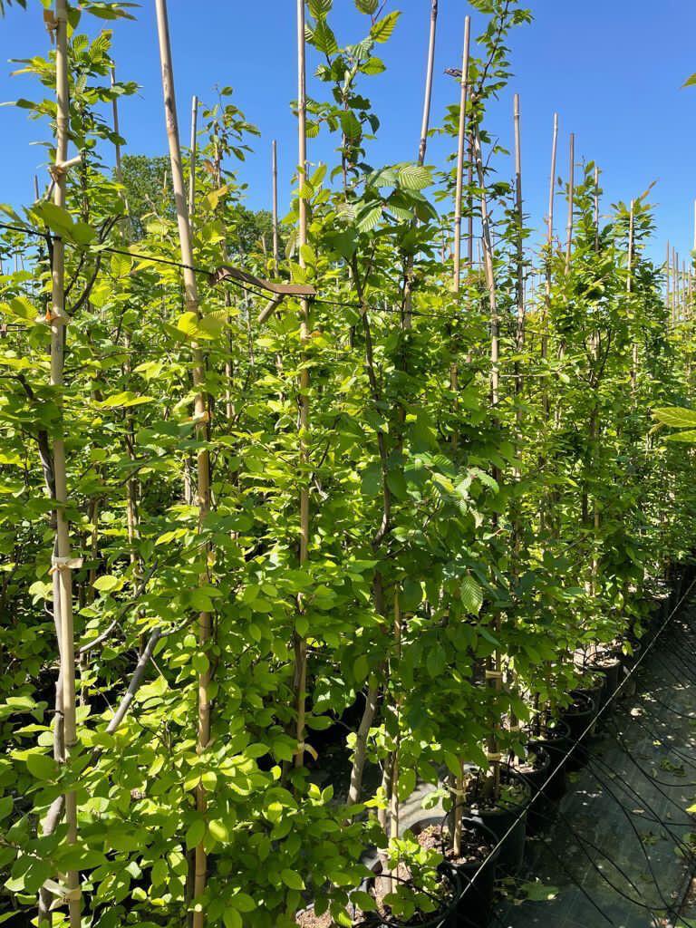 Carpino Carpinus Betulus vaso v26 h 200-220