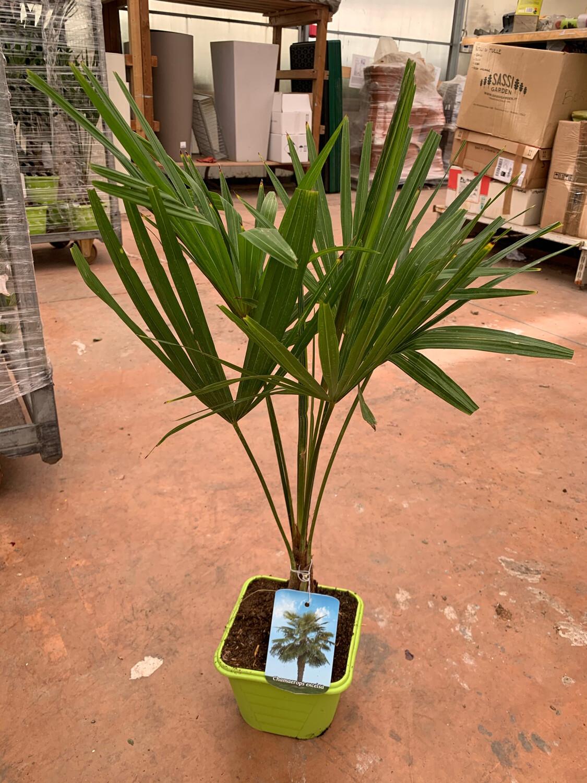 Palma resistente al gelo Trachycarpus Fortunei (CHAMAEROPS EXCELSA) v24 h 50/60 con foglie (tronco 20 cm)