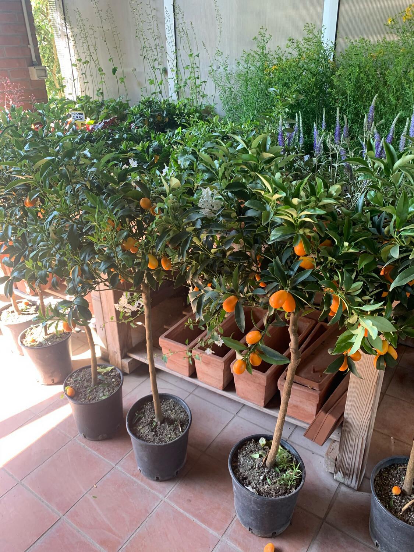 Kumquat-  Mandarino Cinese v26