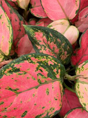 Dieffenbachia Pink Lady v13 Dieffenbachia rosa