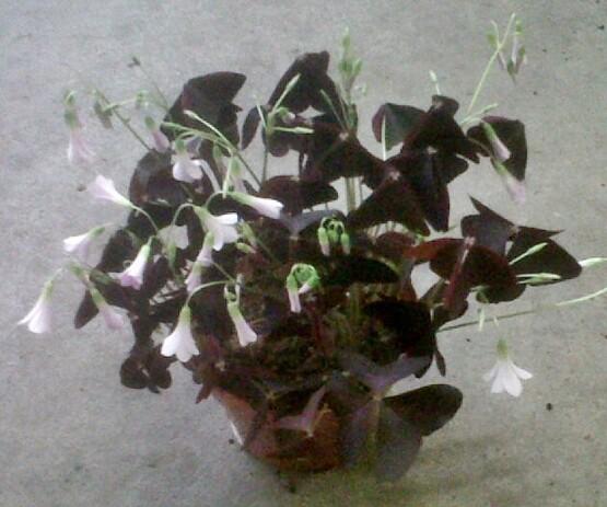 Oxalis Triangularis Mijke vaso 12 cm
