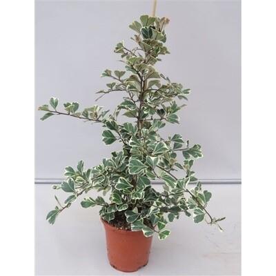 Ficus Triangularis Sweetheart v17
