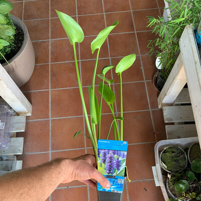 PONTEDEIRA vaso 9 cm