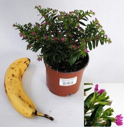 Cuphea hyssopfolia vaso 14