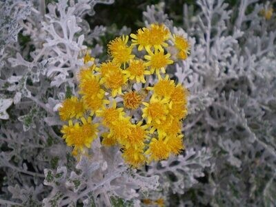 Cineraria Marittima - Jacobea Maritima vaso 9 cm