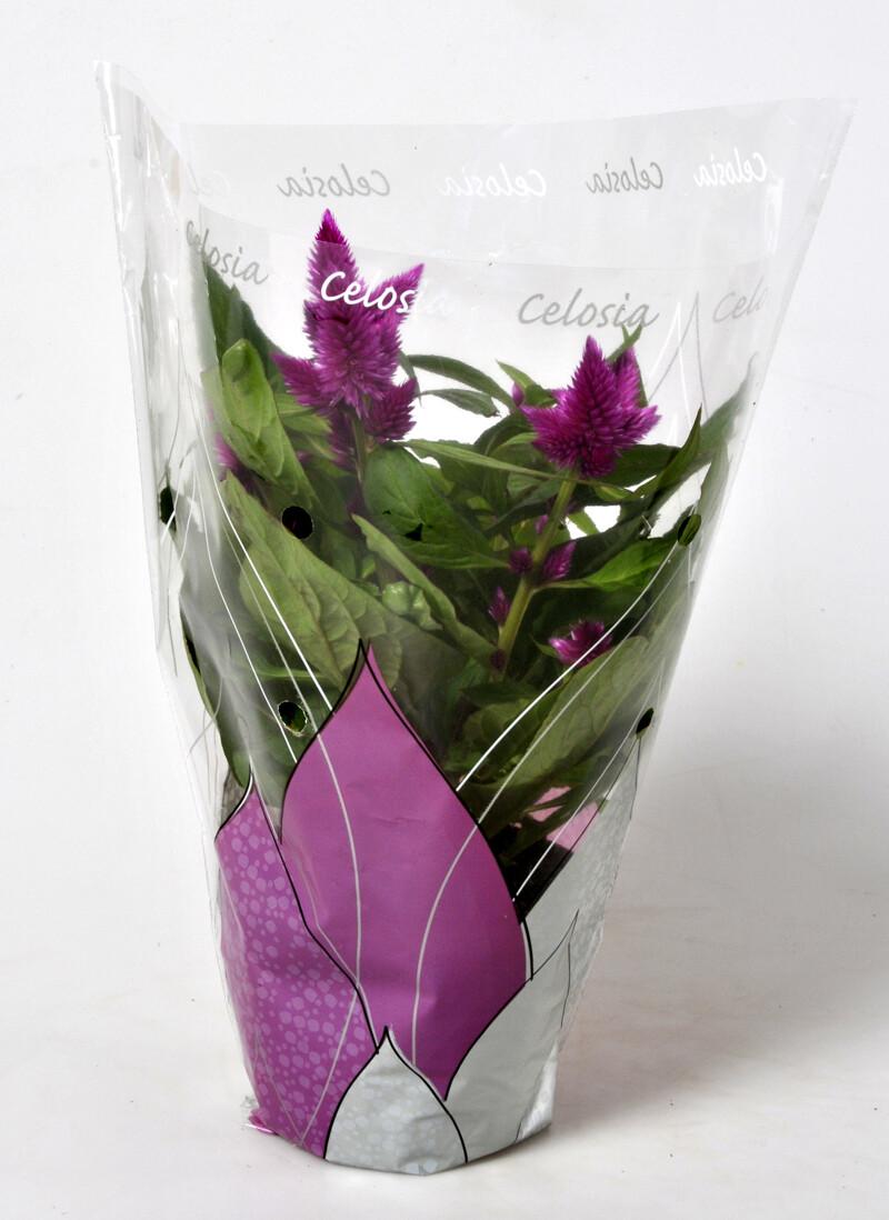 Celosia Argentea vaso 12