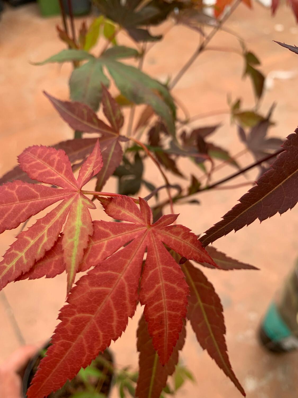 Acero Acer PALMATUM Atropurpureum vaso 10 cm