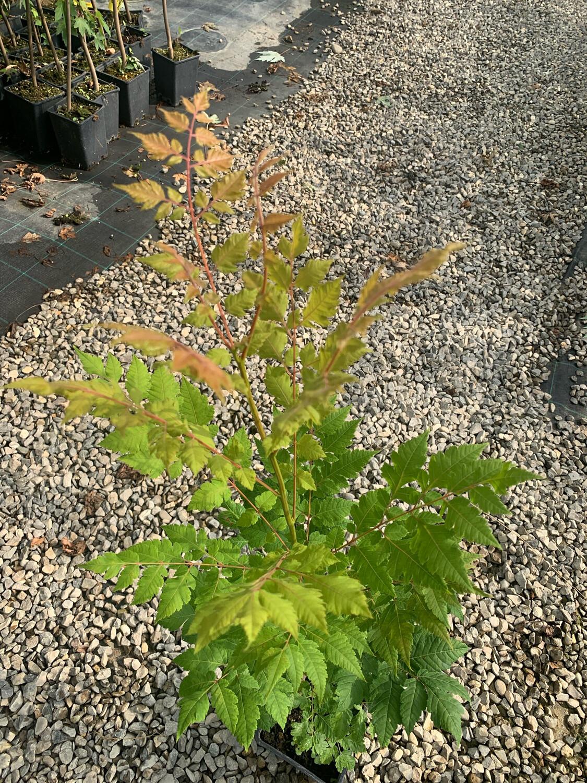 Koelreuteria paniculata vaso 2 litri