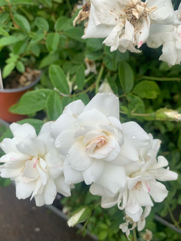 Rosa Rose - Paesaggistiche - Bianca Iceberg - Vaso 18 ROSA ICEBERG