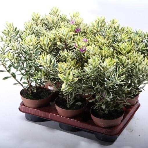 Hebe Andersonii Veronica variegata vaso 12 cm