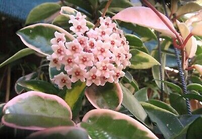 HOYA  Carnosa Krimson queen Basket 14 cm Fiore di Cera