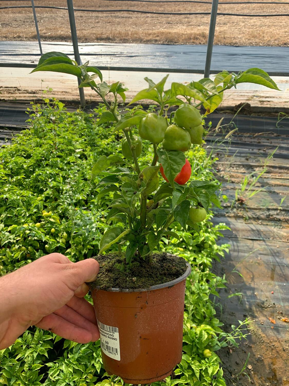 PEPERONCINO HABANERO RED - Capsicum chinense - v14