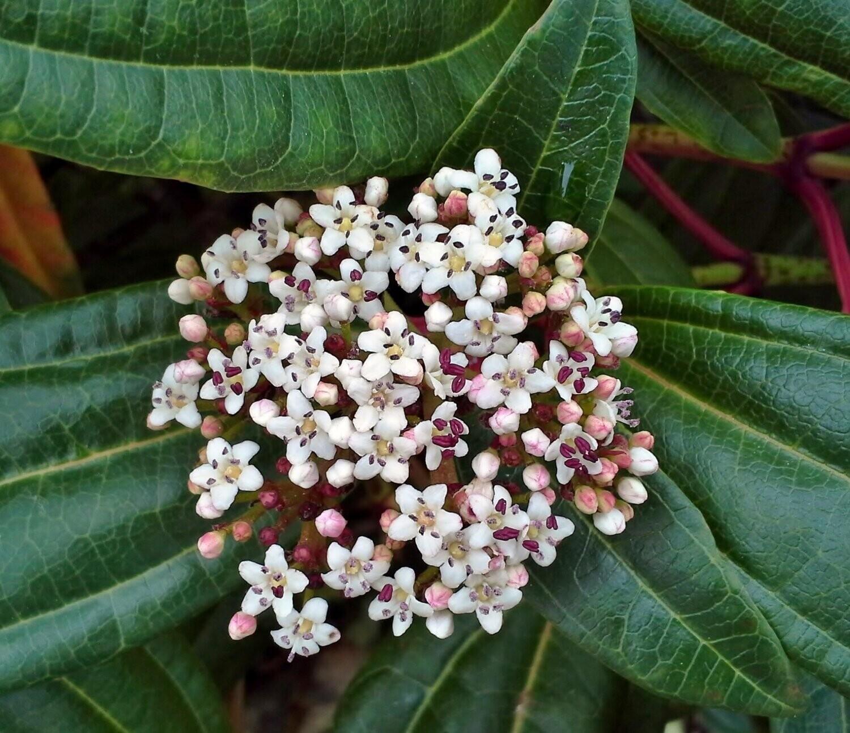 Viburnum Davidii vaso 24 cm