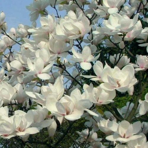 Magnolia da fiore Manchu fan  vaso 35 h 180