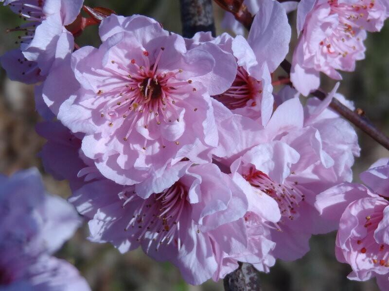 Prunus PERSICA RUBRA vaso 24 h 80/90