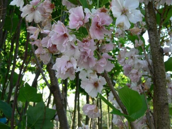 Prunus SERRULATA AMANOGAWA vaso 24 h 80/90