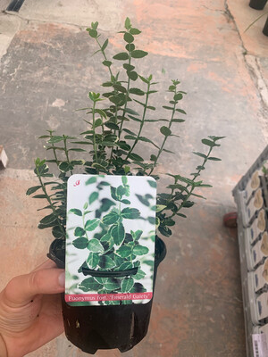 Evonimo Euonymus Emerald Gaiety vaso 13