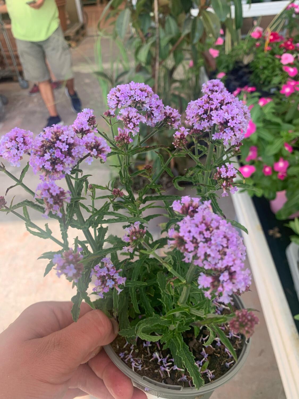 Verbena Bonariensis vaso 12