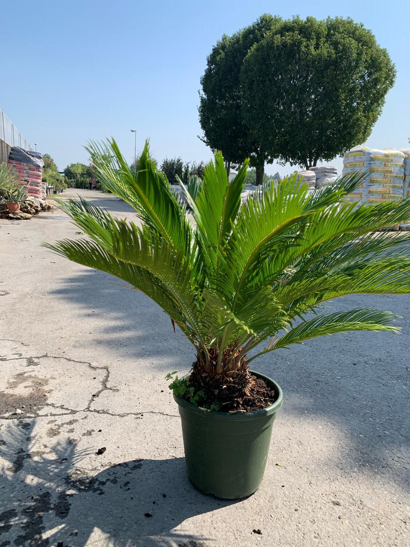 Cycas Revoluta vaso 26 cm