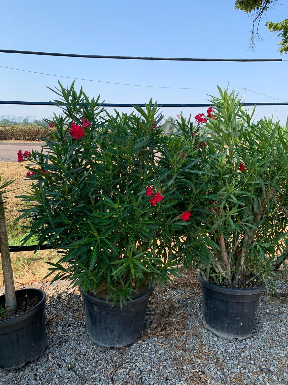 Nerium Oleander Oleandro vaso 40 cm