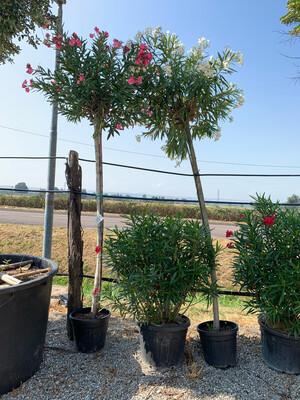 Nerium Oleander Oleandro ad albero vaso 35 h 250 /270 fuori vaso