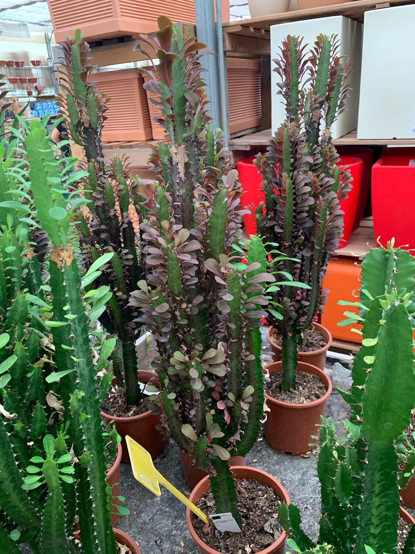 EUPHORBIA Trigona Rubra H60-70 vaso 17