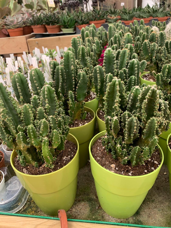 Cereus Florida vaso 10