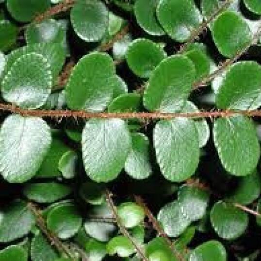 Pellaea Rotundifolia vaso 12