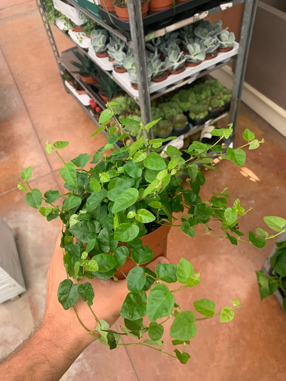 Ficus pumila Green Sunny (verde) vaso 12