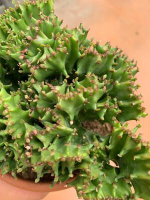 EUPHORBIA Lactea Crestata vaso 13